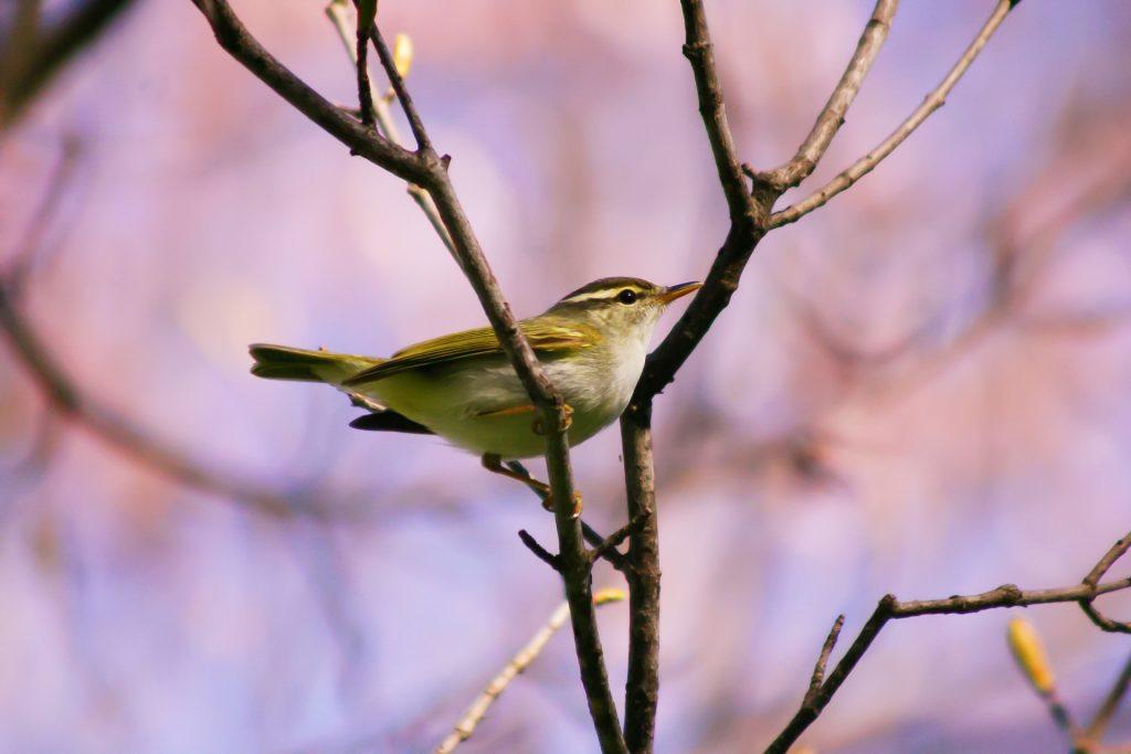春告鳥 鶯(ウグイス)